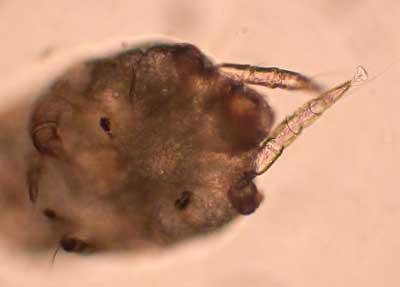 Dermatitis due to Otodectes cynotis in an adult dog