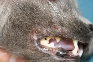 Management of a case of facial pruritus in a cat